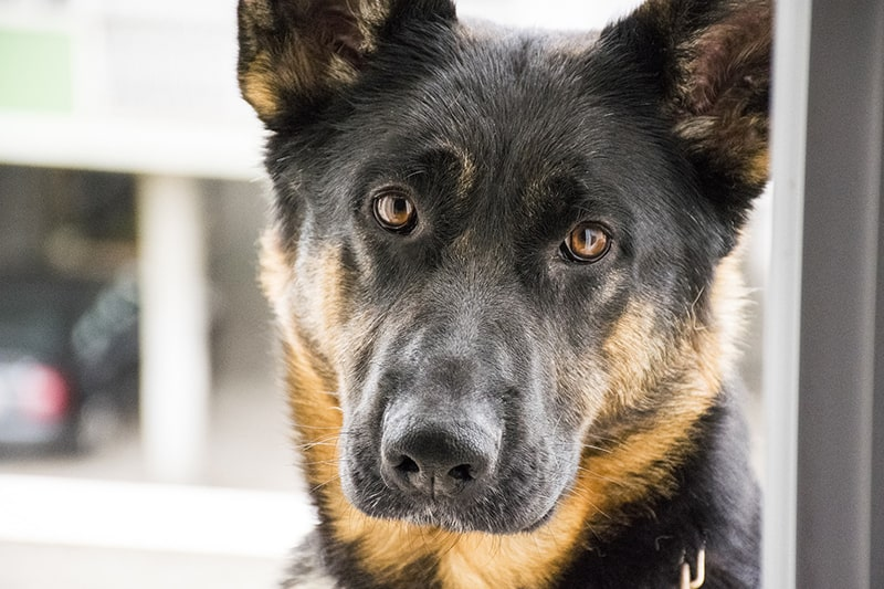 Symptoms of Arthritis in Dogs _ German Shepherd looking directly at the camera
