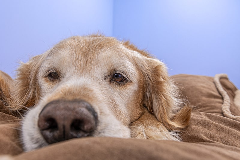 dogs at risk for arthritis _ senior golden retriever lying on a brown blanket next to a blue wall