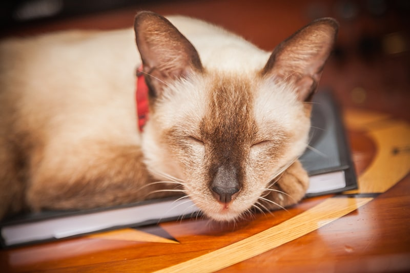 Caring for a Siamese cat _ Siamese cat with a red collar resting on a table