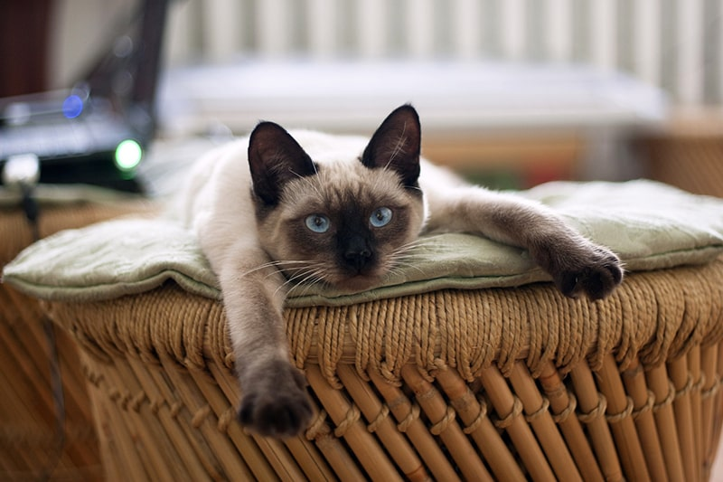 Siamese Cat Facts _ Siamese cat lying on an ottoman