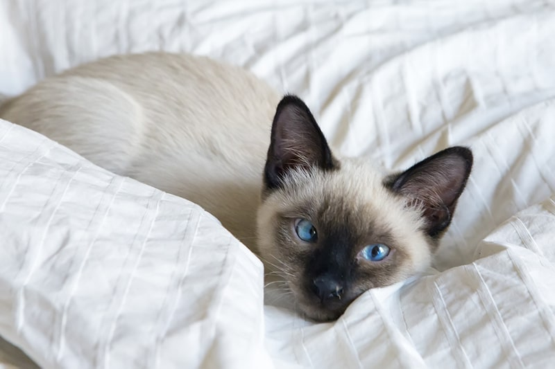 Siamese cat name ideas _ young Siamese cat lying on a white blanket