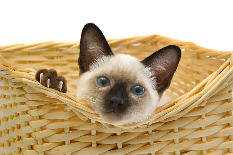 Siamese cat personality traits _ young Siamese cat poking head out of a wicker basket
