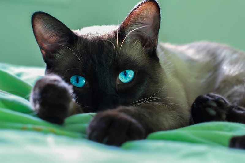 physical attributes of a Siamese cat _ Siamese cat resting on a green blanket