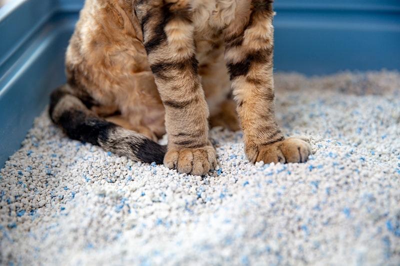 cat litter box issues _ devon rex cat sitting in a clumping cat sand in litter box