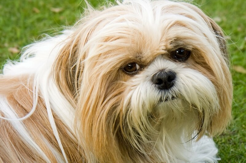 Shih Tzu dogs and kidney disease