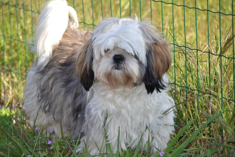 Shih Tzu physical appearance and traits