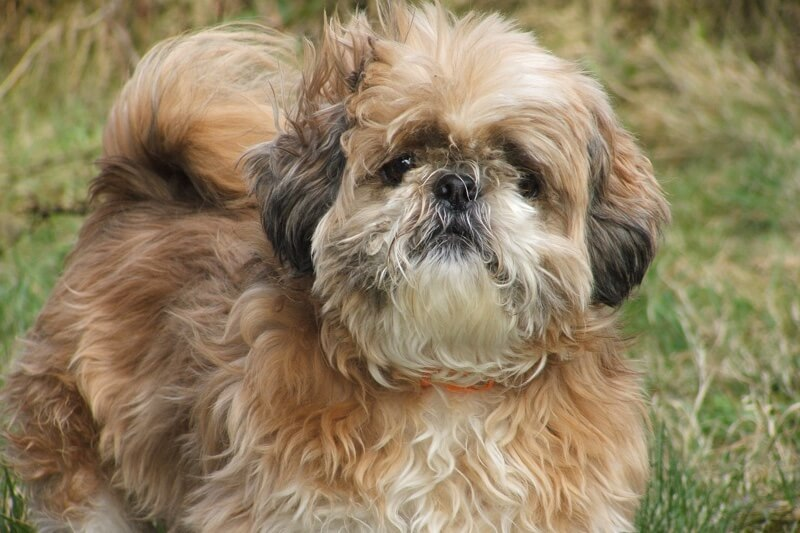 common health issues for Shih Tzu dogs