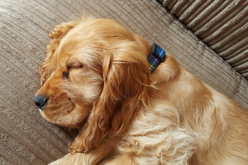 sleeping barking and what it means _ golden cocker spaniel with a plaid collar sleeping