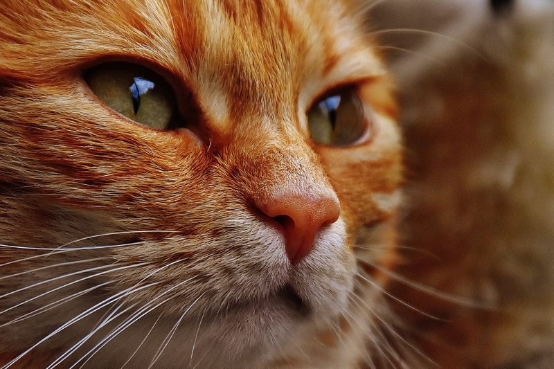 cat eye care tips _ orange tabby cat with green eyes