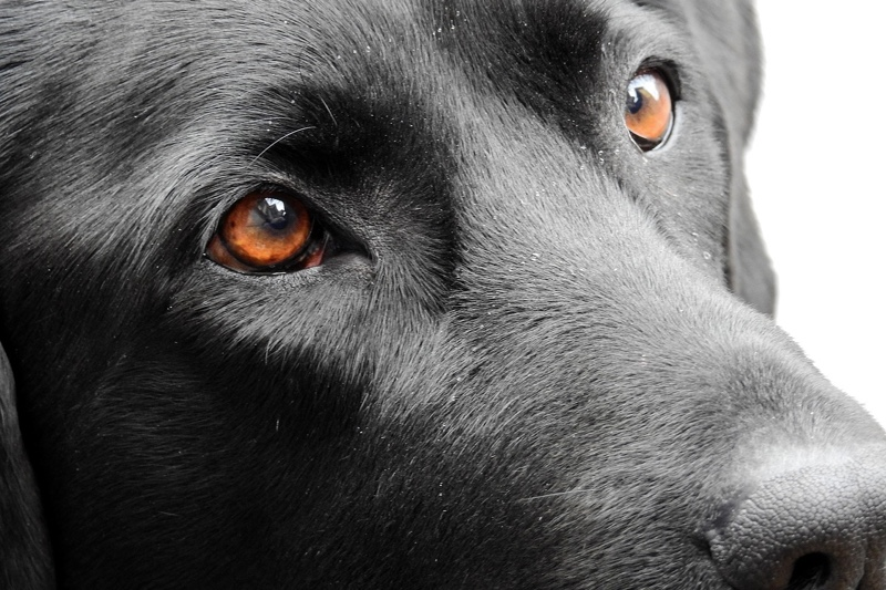 dog eye care tips _ black Labrador with brown eyes