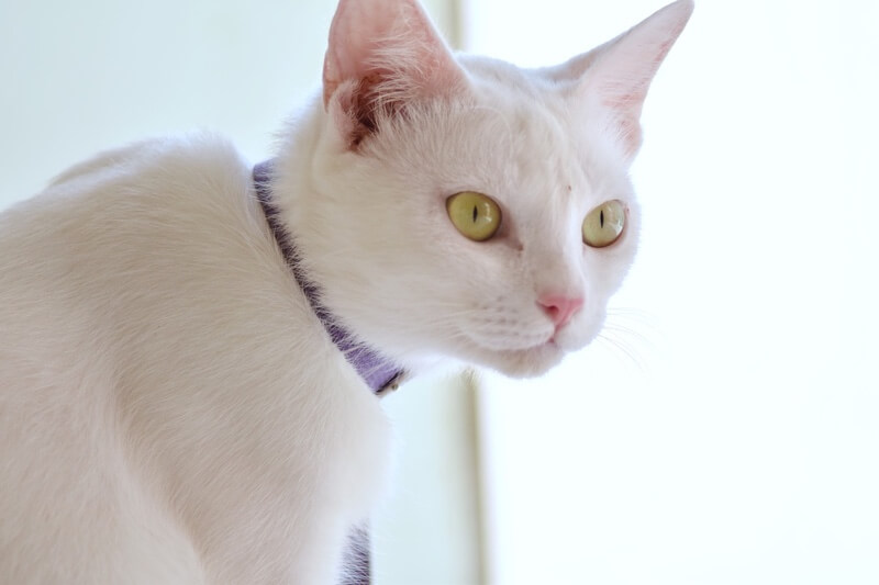 what is pet health insurance and how does it work _ white domestic shorthair cat with a purple collar