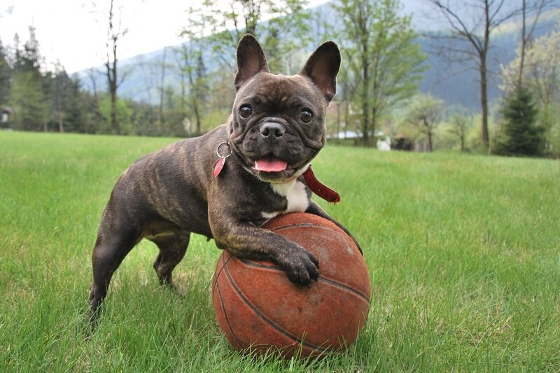symptoms of hip dysplasia _ French bulldog playing outside with a basketball