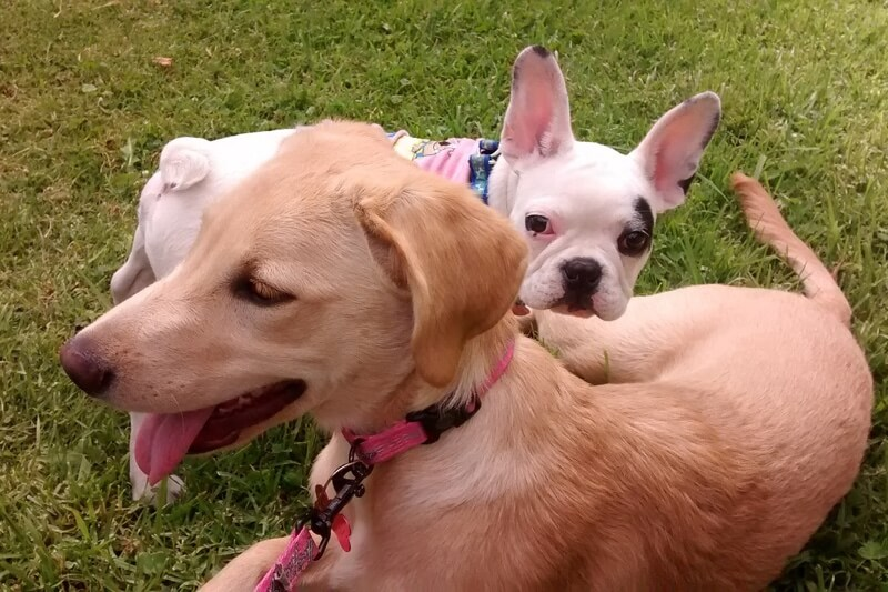 how to socialize a puppy _ French bulldog and mixed dog playing outside