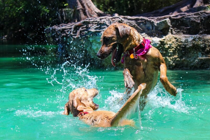 how to socialize adult dogs _ two dogs swimming