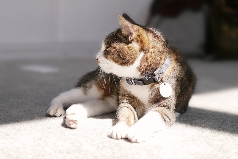 treating and preventing cat asthma _ cat with a black collar resting on white carpet