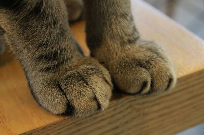 why do cats knead _ close up of tabby cat paws
