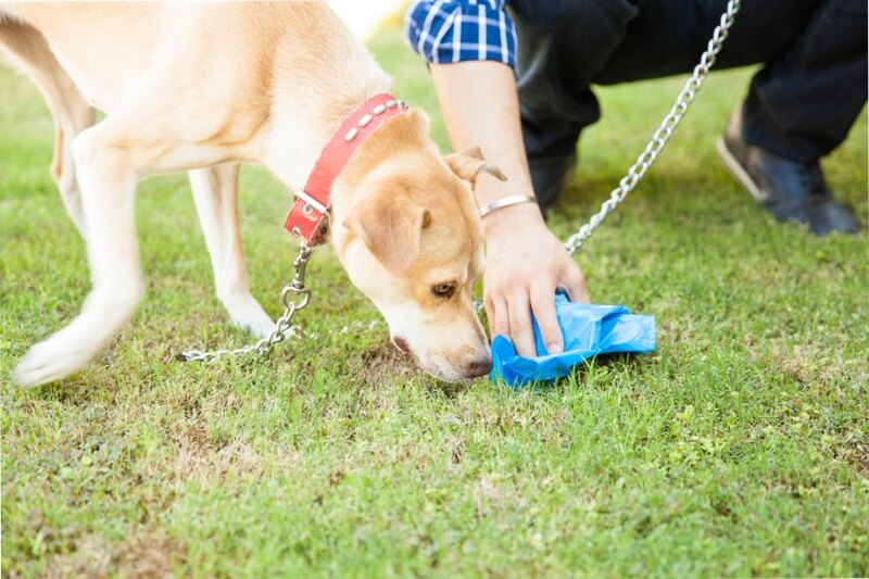why do dogs eat poop _ dog sniffing waste as man picks it up