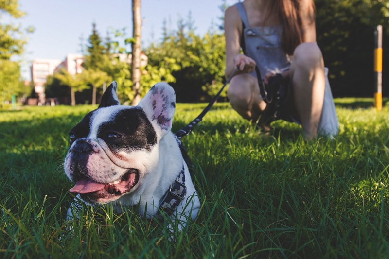 monitor dogs when they play outside _ French bulldog on a leash at a park