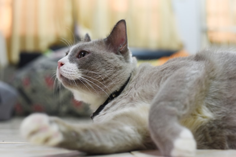 symptoms and signs of cat obesity _ overweight grey and white cat with black collar