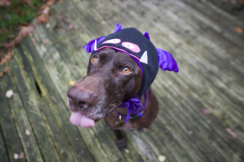 tips for taking pet photos on Halloween _ chocolate lab dressed as a bat with his tongue out