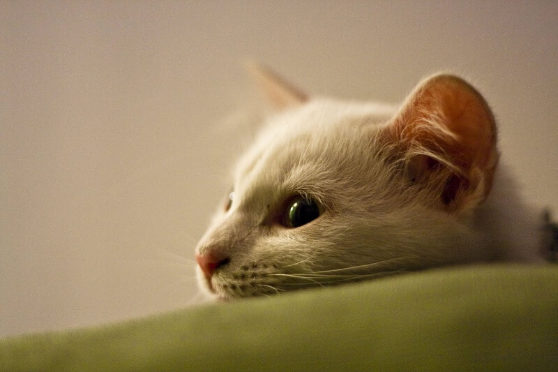 Symptoms of cat scratch fever _ white cat on a green sofa