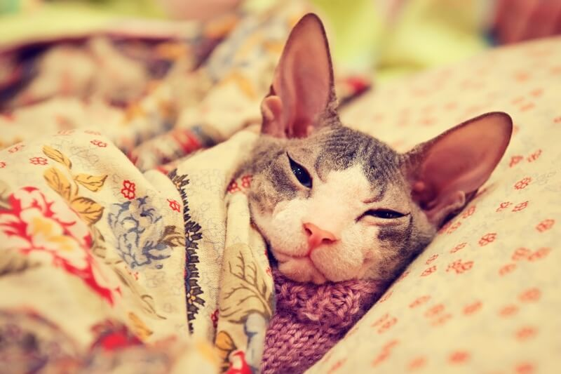 common health problems for sphynx cats _ sphynx cat in a pink sweater under a floral blanket