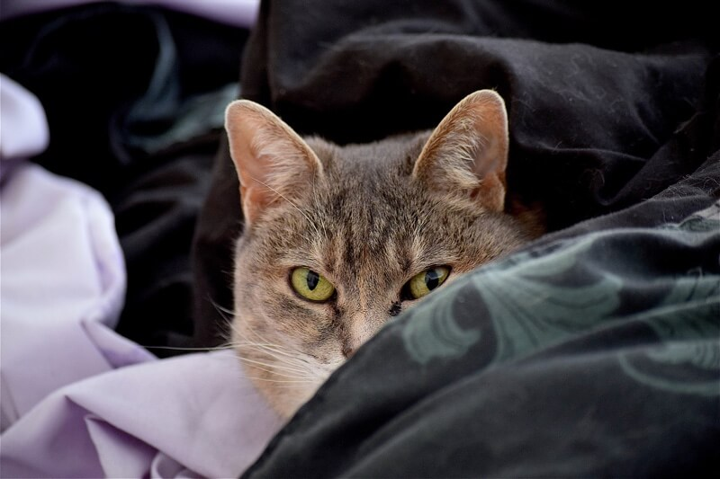 diagnosing cat scratch fever in cats _ tabby cat on purple and black blankets