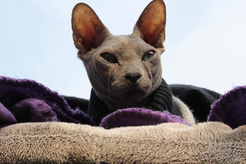 fun fact and what to name your sphynx cat _ sphynx cat in a dark grey sweater on a purple blanket and tan pillow