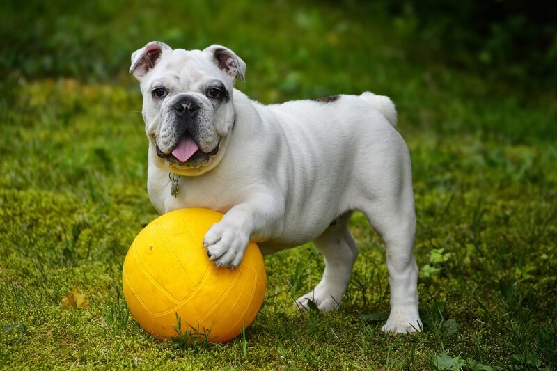 grooming and training an English bulldog _ white English bulldog with a yellow collar and yellow ball