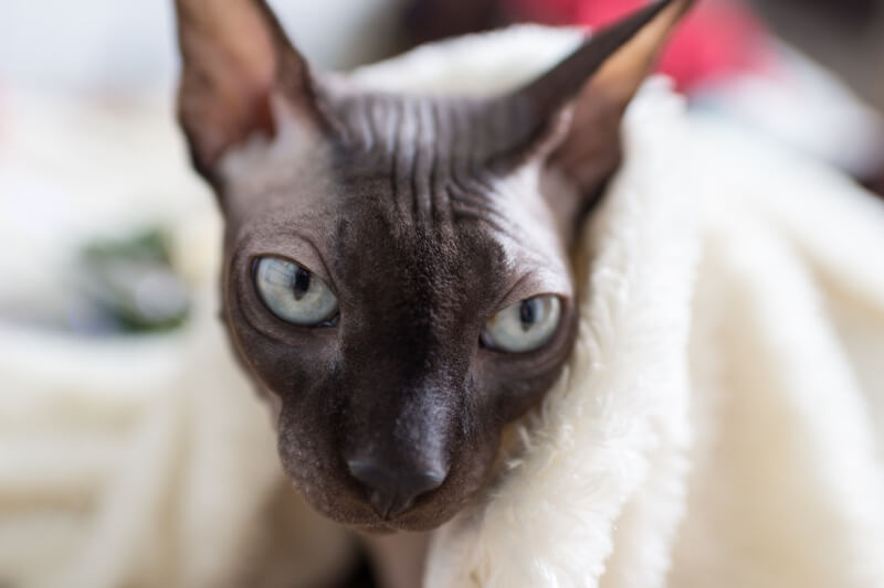 history of the sphynx cat _ sphynx cat under a white blanket