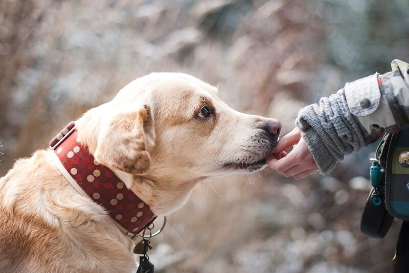 managing dog aggression _ trusting older dog with a polka dot collar receiving a treat