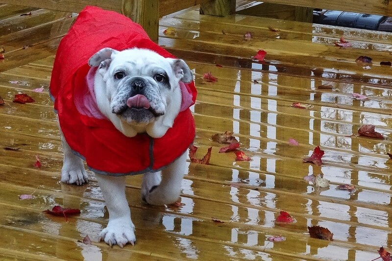 physical attributes of English Bulldogs _ white English bulldog in a red rain jacket on a deck