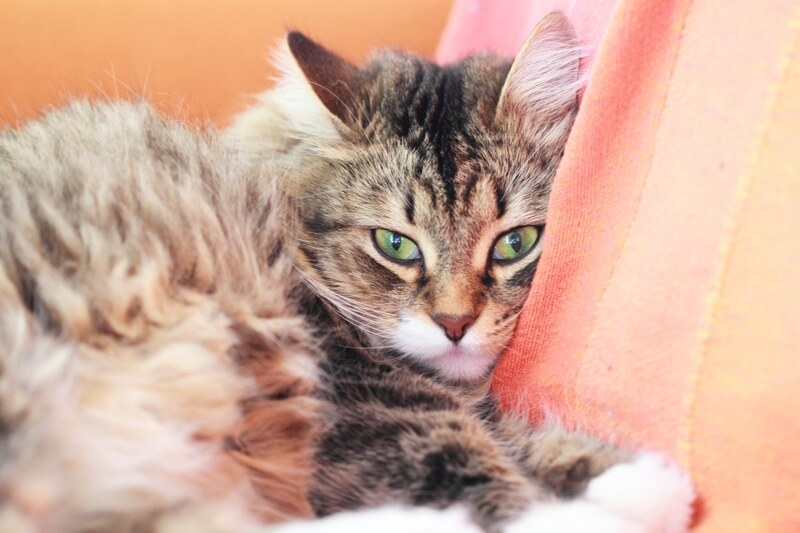 common health problems for Siberian cats _ Siberian forest cat resting on an orange sofa