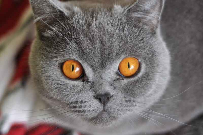 diagnosing lymphoma in cats _ grey british shorthair cat with yellow eyes