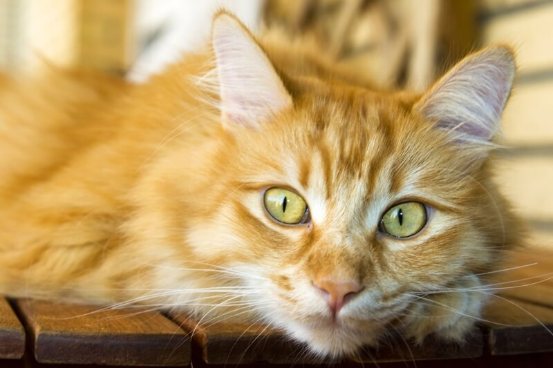 fun facts about Siberian cats _ red Siberian cat resting on a kitchen table