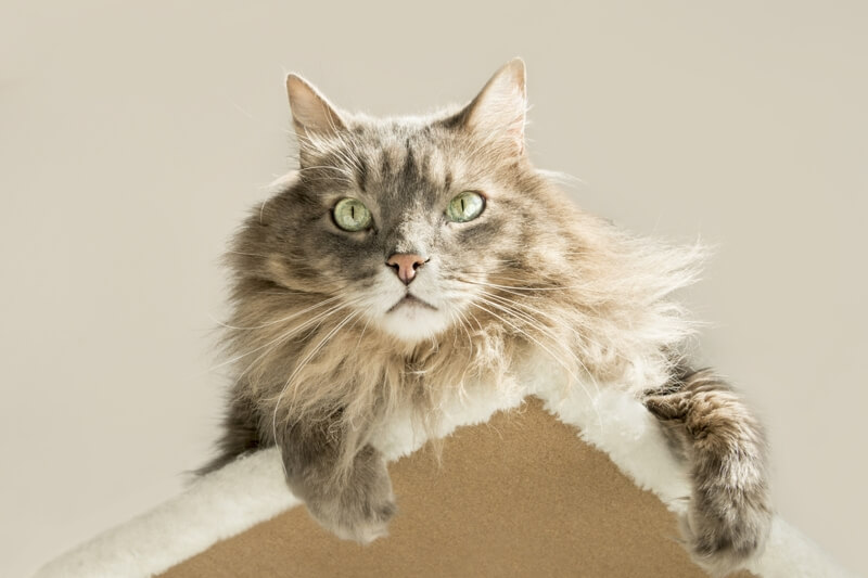 physical attributes of Siberian cats _ Moscow longhair cat atop a cat tree