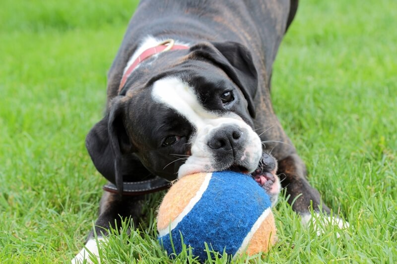 physical and personality traits of boxer dogs _ black boxer dog playing with a giant tennis ball