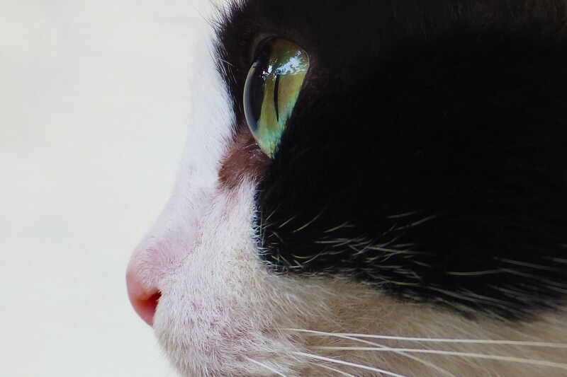 symptoms and types of lymphoma in cats _ black and white cat with green eyes and pink nose