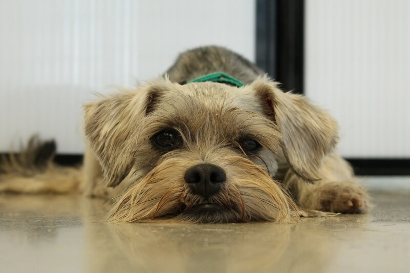 what to do if you find a lost pet _ schnauzer with a green collar