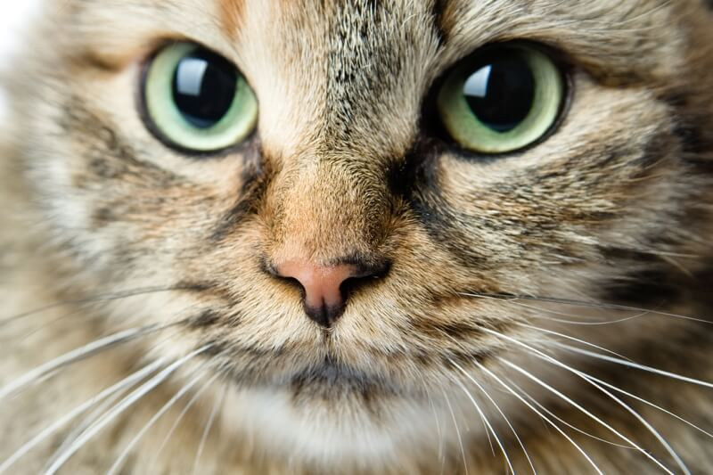 where did Siberian cats originate _ closeup of a Siberian cat with green eyes