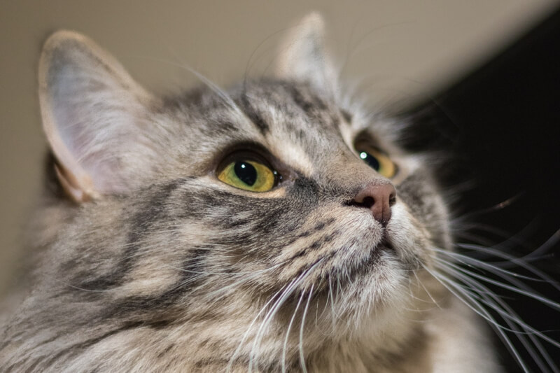 common health problems for ragamuffin cats _ ragamuffin cat with green eyes looking up