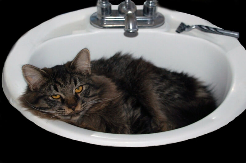 physical attributes of a ragamuffin cat _ ragamuffin with yellow eyes resting in a sink