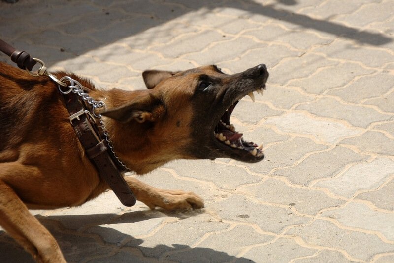 rabies symptoms and transmission _ angry barking german shepherd on a leash