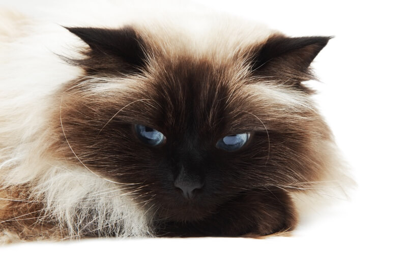 5 fun facts about Himalayan cats _ himmy resting on a white background