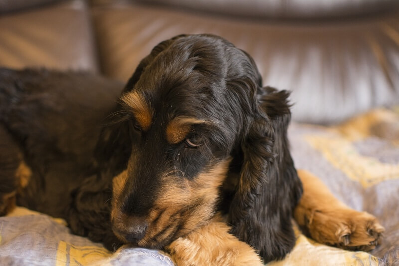 Symptoms of Liver Disease in Dogs _ black and tan cocker spaniel resting on a couch
