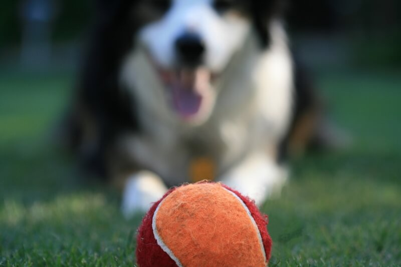 camera from dogs point of view _ dog staring at orange and red tennis ball