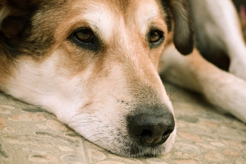 can pet insurance help cover the cost of treating liver disease _ dog with sad eyes resting on tile floor