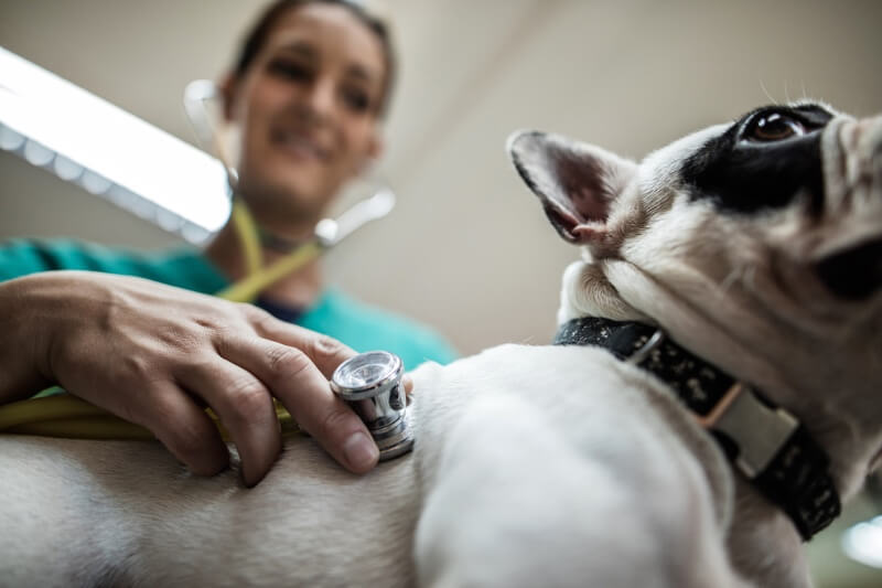 complications from flea and tick infestation _ French bulldog being examined by veterinarian