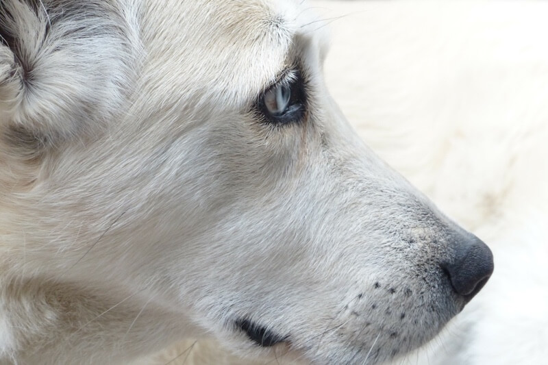 diagnosing and treating liver disease in dogs _ white dog with blue eyes