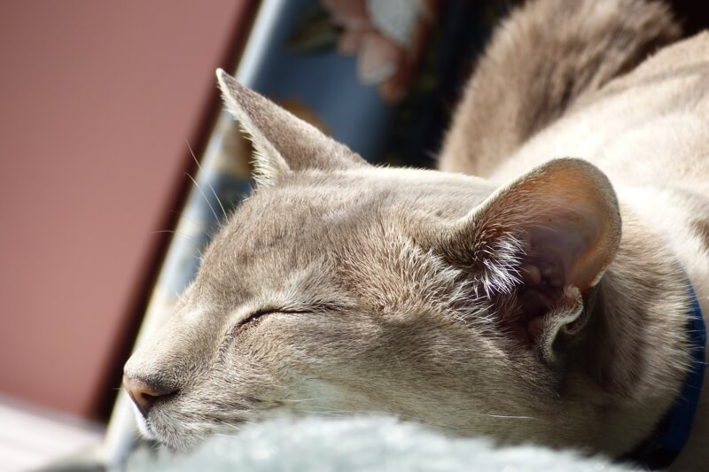 diagnosing feline leukemia _ Siamese cat with a blue collar